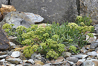 Rock-samphire - Crithmum maritimum (Apiaceae) Height to 40cm<br /> Spreading, branched and hairless perennial. Characteristic of maritime rocky habitats and stabilised coastal shingle. FLOWERS are greenish yellow and borne in umbels, 3-6cm across, with 8-30 rays and numerous bracts (Jun-Sep). FRUITS are egg-shaped, ridged and corky. LEAVES are divided into narrow, fleshy lobes, triangular in cross-section.