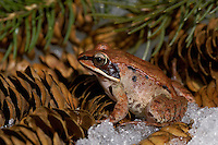 Wood Frog in Spring thaw (Rana sylvatica).  Most northerly amphibian in the world and most widespread amphibian in North America.  Nova Scotia, Canada.