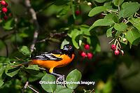 01611-08720 Baltimore Oriole (Icterus galbula) male in Serviceberry Bush (Amelanchier canadensis) Marion Co., IL