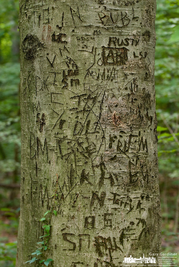 A tree is carved with initials and graffiti beside a nature walkway in a Columbus, Ohio, park.<br />