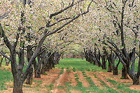 731350096 apple orchard in bloom at capitol reef national park utah