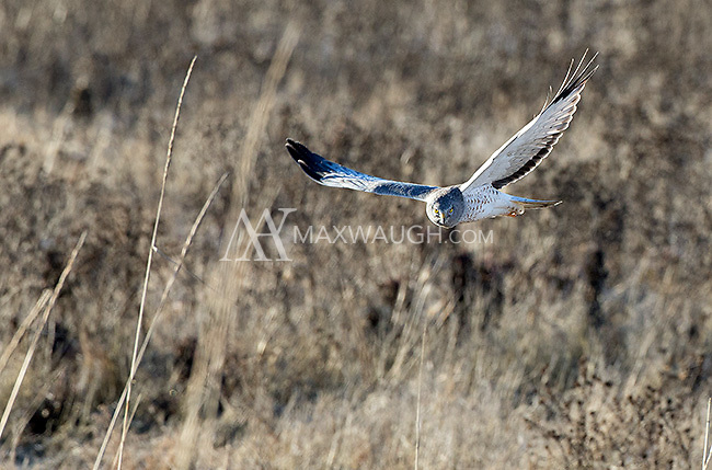 Northern harriers are occasionally seen circling the fields near Boundary Bay.