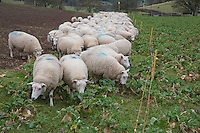 Lleyn ewes strip grazing swedes, Welshpool, Powys.
