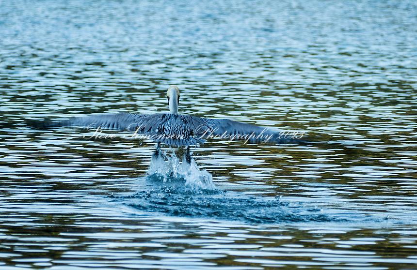 Pelicans<br /> St. John<br /> Virgin Islands