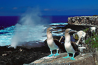 A pair of Blue Footed Boobies on the cliff face, coastal cliffs, seabirds. Blue Footed boobies. Punta Suarez, Hood Island Galapagos Islands Ecuador Pacific Ocean, 650 miles west of South America. bird, birds, wildlife