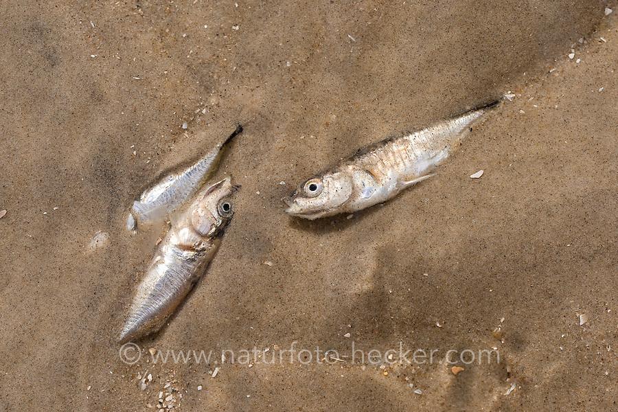 Dreistacheliger Stichling, Dreistachliger Stichling, an Sauerstoffmangel eingegangen, tot, Fischsterben, Gasterosteus aculeatus, three-spined stickleback