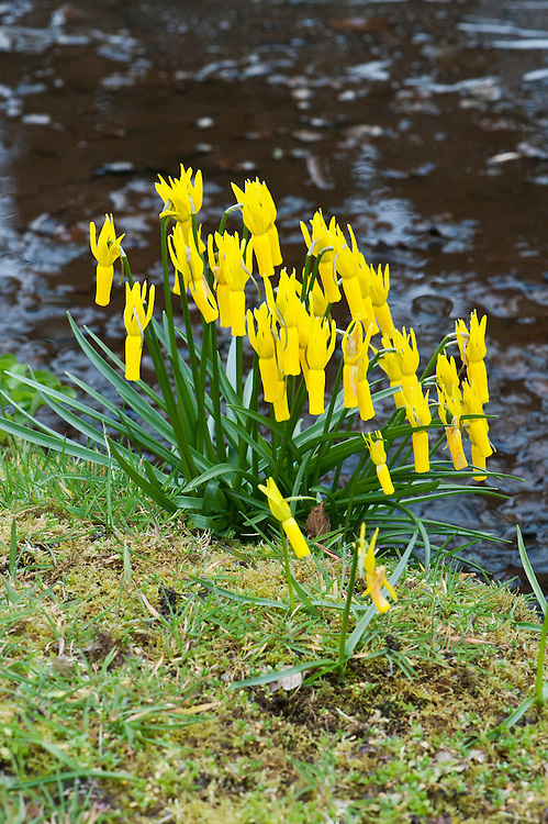 Clump of cyclamen-flowered daffodils (Narcissus cyclamineus) growing on the bank of a stream, mid March.