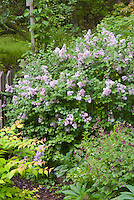Syringa Palibin littleleaf lilac shrub in spring bloom with Kolkwitzia Dreamcatcher and Geranium phaeum Samobor in flower, garden scene combination of shrubs, perennials, flowers, foliage