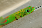 Gold Dust Day Gecko (Phelsuma laticauda), found on the side of a Wailua condo, Kauai, Hawaii