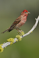 Cassin's Finch - Carpodacus cassinii - Adult male