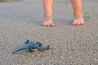 Young girl watches a Leatherback Sea Turtle hatchling on beach. Dermochelys coriacea. Matura Beach, Trinidad.