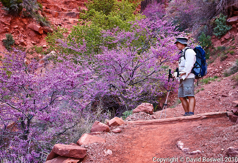A hiker admires the blooms of the California redbud (Cercis orbiculata) along the North Kaibab Trail in the Grand Canyon, Arizona.