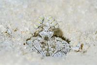 Mantis shrimp eyes in the Maldives