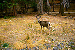 CA: Yosemite National Park, deer                 Photo Copyright: Lee Foster, lee@fostertravel.com, www.fostertravel.com, (510) 549-2202.cayose232