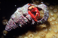 RED REEF HERMIT CRAB IN SHELL<br /> Hermit Crab on Sea Sponge<br /> Hermit crabs are decopod crustaceans with long, spiraling abdomens. They salvage empty gastropod shells and change shells as needed depending on growth. Most live in varying depths of saltwater habitats.