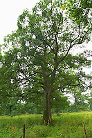 Oak tree in a field. Smaland region. Sweden, Europe.