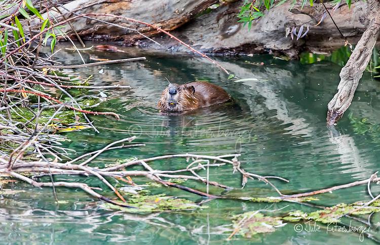 2017-08-06_Urban Wildlife_Beaver