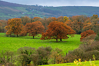 Trees in their full autumn glory near Chipping, Preston, Lancashire in the Forest of Bowland.