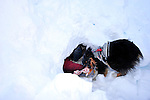 Ski patrol avalanche rescue dog Emma, uncovering a skier buried in the snow during a training drill - Crested Butte, Colorado