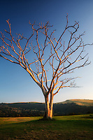 Lone leafless Monkey Pod tree at sunrise. Hawaii, Island.