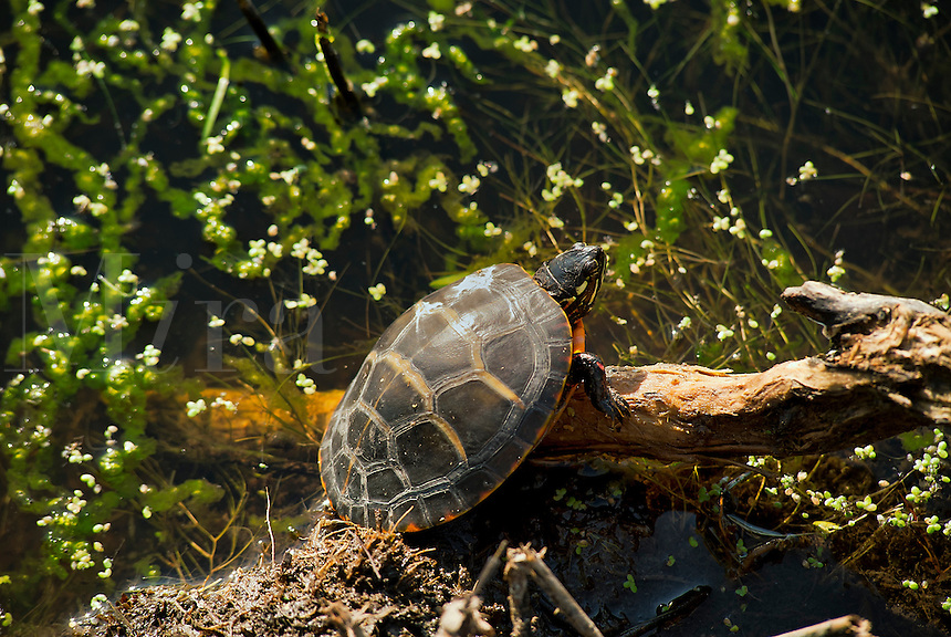 Water turtle sunning on a log, NJ, New Jersey, USA