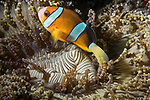 Puerto Galera, Oriental Mindoro, Philippines; a Clark's anemonefish living in a beaded sea anemone on the sandy bottom