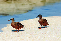 endangered Laysan Ducks, bird, duck, Anas laysanensis, Laysan, Papahanaumokuakea Marine National Monument, Northwestern Hawaiian Islands, Hawaii, USA, Pacific Ocean