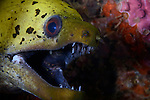 Fimbriated Moray eel , Gymnothorax fimbriatus, Anilao, Philippines