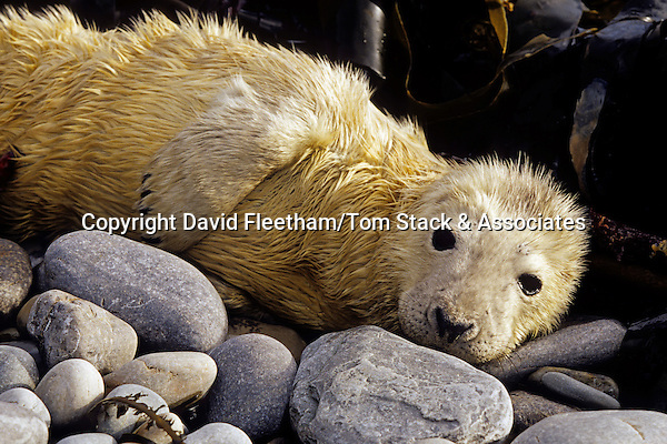 This gray seal, Halichoerus grypus, pup is tended by it's mother on the beach until it molts.  The Orkney Islands, Scotland.