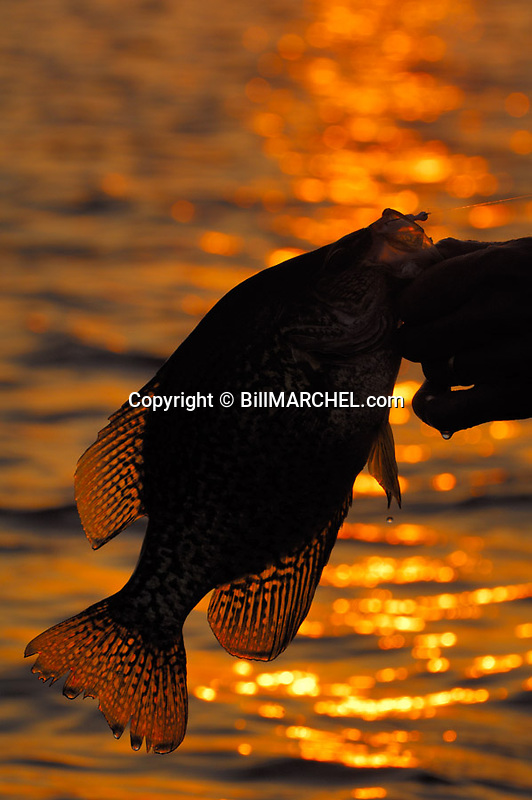 00247-011.04 Black Crappie (DIGITAL) silhouetted against low sun and water is hoisted by angler's hand.  Fish, fishing, panfish.  V7R1