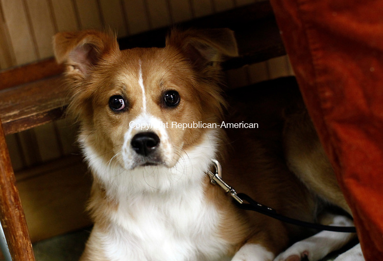 Middlebury, CT- 04 October 2014-100414CM06-  COUNTRY LIFE-- Murphy, a mixed breed, owned by Mary Esuchek of Naugatuck, is photographed at the St. George's Episcopal Church annual Blessing of the Animals  in Middlebury on Saturday.    Christopher Massa Republican-American