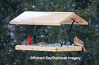 00585-037.15 Northern Cardinals & American Goldfinch on platform tray feeder, Marion Co. IL