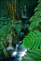 Hapu'u tree ferns<br />