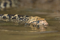 412850011 a wild bullsnake pituophis catenifer sayi swims and drinks in a small pond in the rio grande valley of south texas