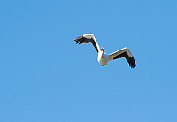 American White Pelican, Pelecanus erythrorhynchos, flies over Upper Klamath Lake, Oregon