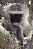 Vervet monkey (Cercopithecus aethiops), close-up (Licence this image exclusively with Getty: http://www.gettyimages.com/detail/73014027 )