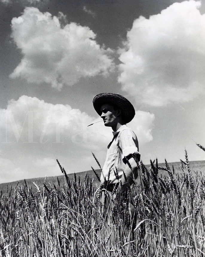 Farmer gazing over field of wheat. 1950's.