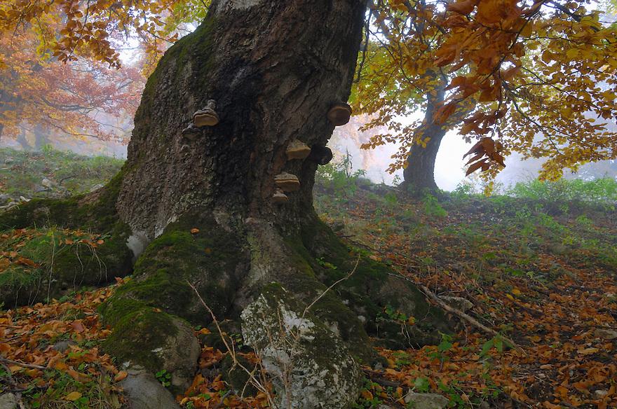 Old beech trees in autumn (Fagus spec.), Piatra Craiului National Park, Transylvania, Southern Carpathians, Romania