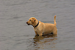 Yellow labrador in water