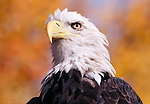 Portrait of American bald eagle (Haliaeetus leucocephalus), Rocky Mtns, CO