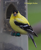 SW05-511z  American Goldfinch male at bird feeder, Carduelis tristis