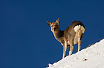 Sika deer, Cervus nippon, standing in snow at edge of cliff, Shiretoko National Park, Hokkaido Island, Japan .Japan....
