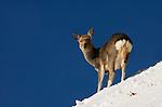 Sika deer, Cervus nippon, standing in snow at edge of cliff, Shiretoko National Park, Hokkaido Island, Japan .Japan....