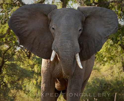 African elephant in threatening stance and flapping ears, Lower Zambezi National Park, Zambia. (This species is found in many African countries including South Africa, Botswana, Zambia, Zimbabwe, Namibia, Tanzania, Kenya, Rwanda, Uganda, Angola, Democratic Republic of Congo)