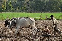 INDIA Madhya Pradesh , organic cotton project bioRe in Kasrawad , farmer with son ploughing the field / INDIEN Madhya Pradesh , bioRe Projekt fuer biodynamischen Anbau von Baumwolle in Kasrawad, Vater und Sohn pfluegen ein Feld mit Kuehen