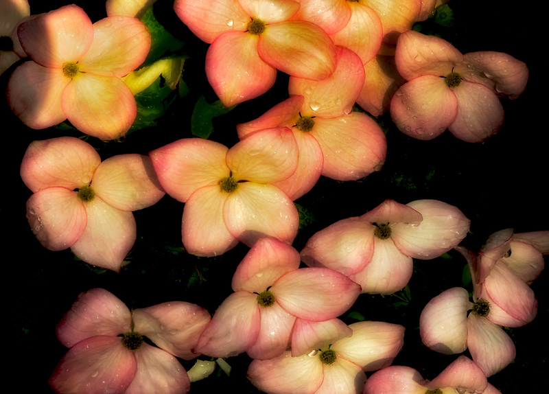 Dogwood blossoms with rain drops. Oregon
