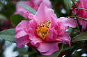 Camellia 'Leonard Messel', mid March.