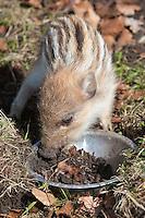 Wildschwein, verwaistes, pflegebedürftiges, in Menschenhand gepflegtes, zahmes Jungtier frisst Regenwürmer aus einer Schale im Garten, Wild-Schwein, Schwarzwild, Schwarz-Wild, Frischling, Junges, Jungtier, Tierkind, Tierbaby, Tierbabies, Schwein, Sus scrofa, wild boar, pig