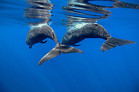 Pilot whale, Globicephala macrorynchus, flukes or the tails of two pilot whales, Canary Islands, Spain, Atlantic
