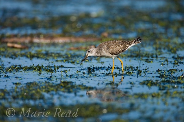 Lesser Yellowlegs (Tringa flavipes) non-breeding plumage adult, feeding, Ithaca, New York, USA